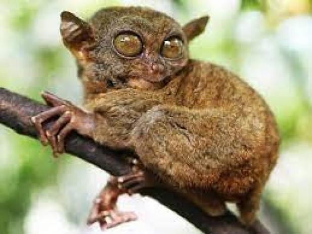 tarsier-endangered-species-in-the-philippines