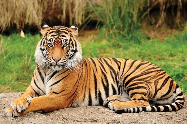 Bengal-tiger-endangered-species-in-India