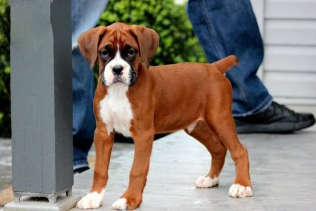 Boxer Puppies | Boxer Puppies For Sale Near Me and Price