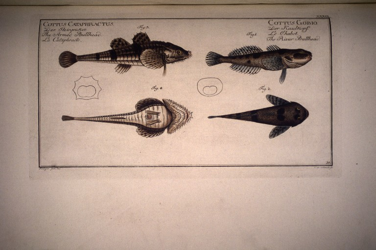 https://i2.wp.com/environnement.ecole.free.fr/images%202bg/dessins%20gravures%20poissons/Cottus%20gobia.%20Le%20chabot.%20The%20river%20bullhead.%20fig.3%20%20Cottus%20cataphractus.%20Le%20cataphracte.jpg