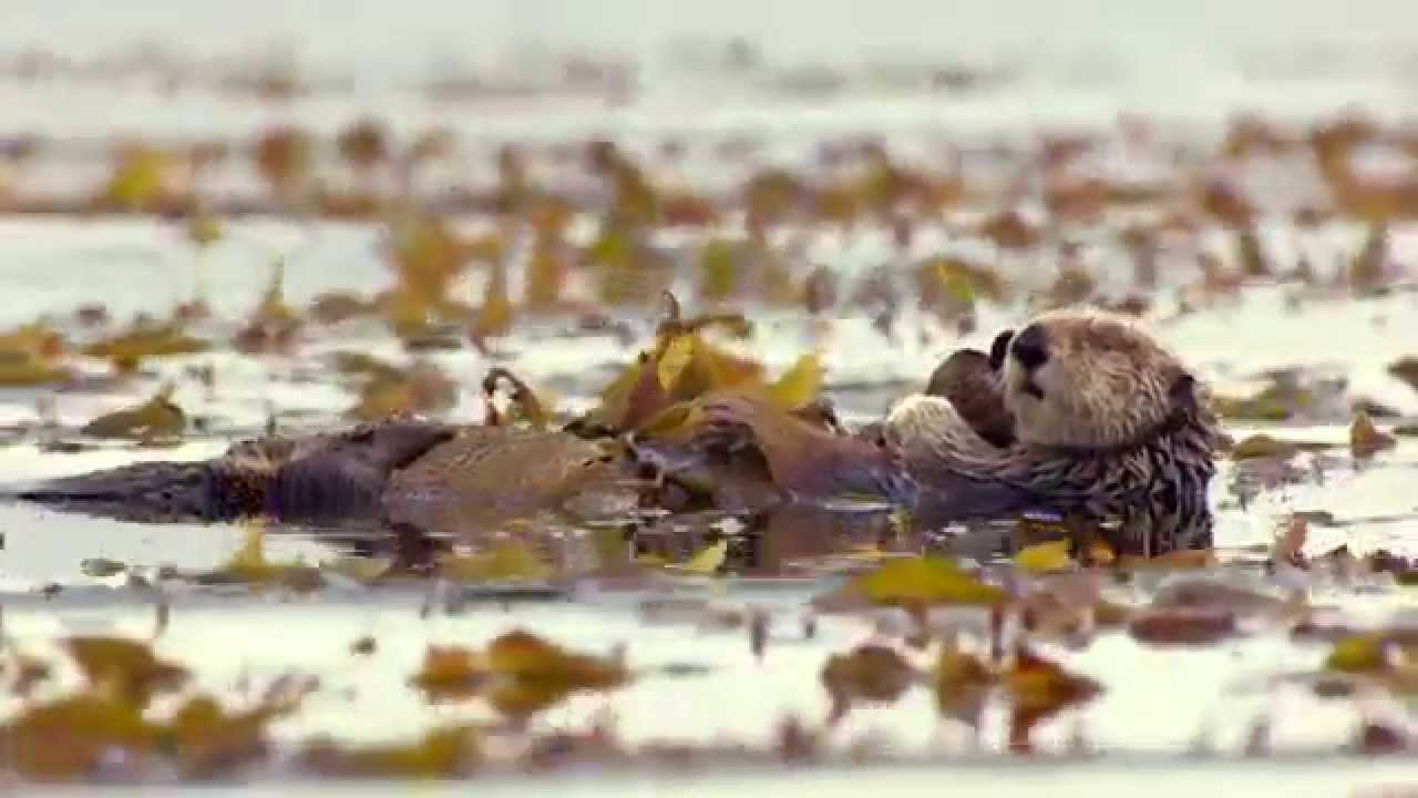 A Sea Otter's Life – Big Blue Live: Episode 2 – BBC One