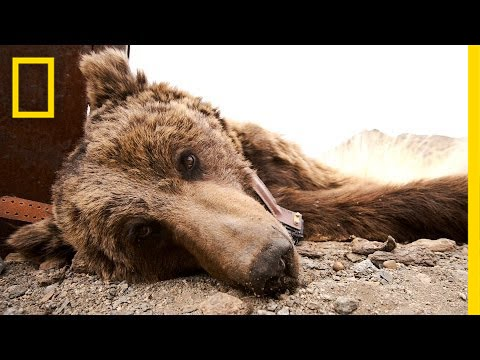 Saving The World's Rarest Bear | National Geographic