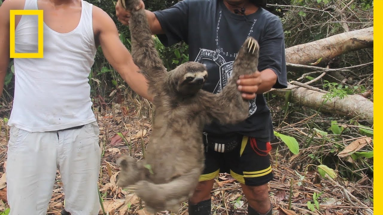 Witness The Harrowing Capture Of A Wild Sloth For The Black Market | National Geographic