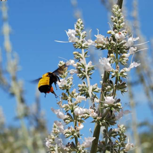 sonoran bumblebee on whitesage