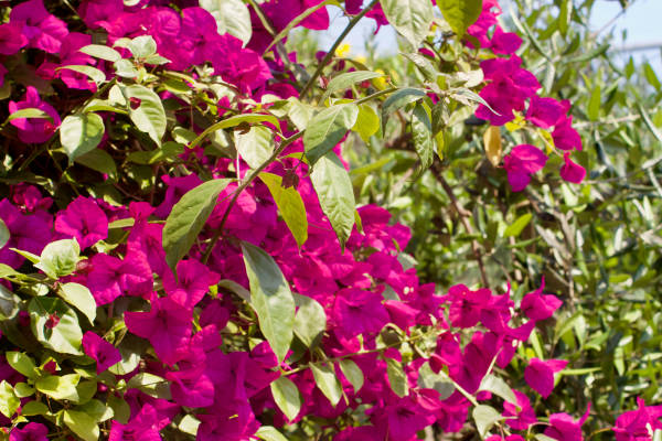 bougainvillea-photo-600×400