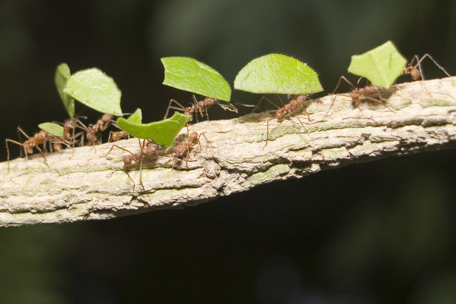 Figure 1 0 Foraging Ants Avoiding Traffic Ea O Ka Aina 2018