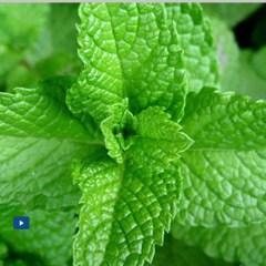 Plantas aromáticas Menta