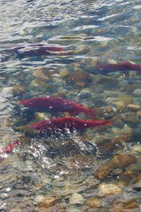 Salmon Program