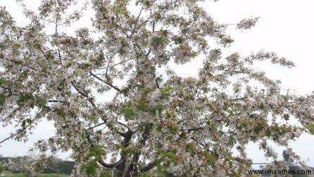 cerejeira_DSC00352