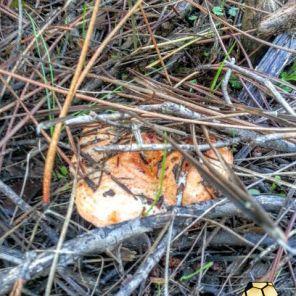 cogumelo-ravaica-enxames-2-2015