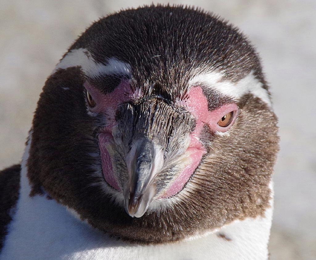 conv0003 7 - フンボルトペンギン