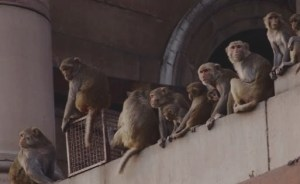 You're not going to believe this but there are monkeys in India stealing coronavirus blood samples! The world is getting shocking everyday!