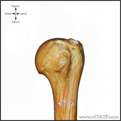 Proximal Humerus Anatomy