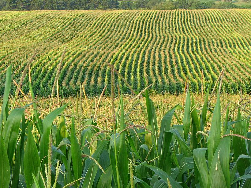 Corn field near Franklin, Penn.