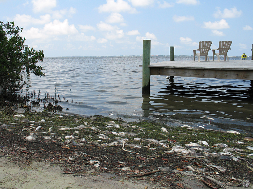 Fish that suffocated from a red tide in Florida's coastal ocean wash up onshore.