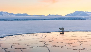 Polar bear walks on Arctic sea ice.