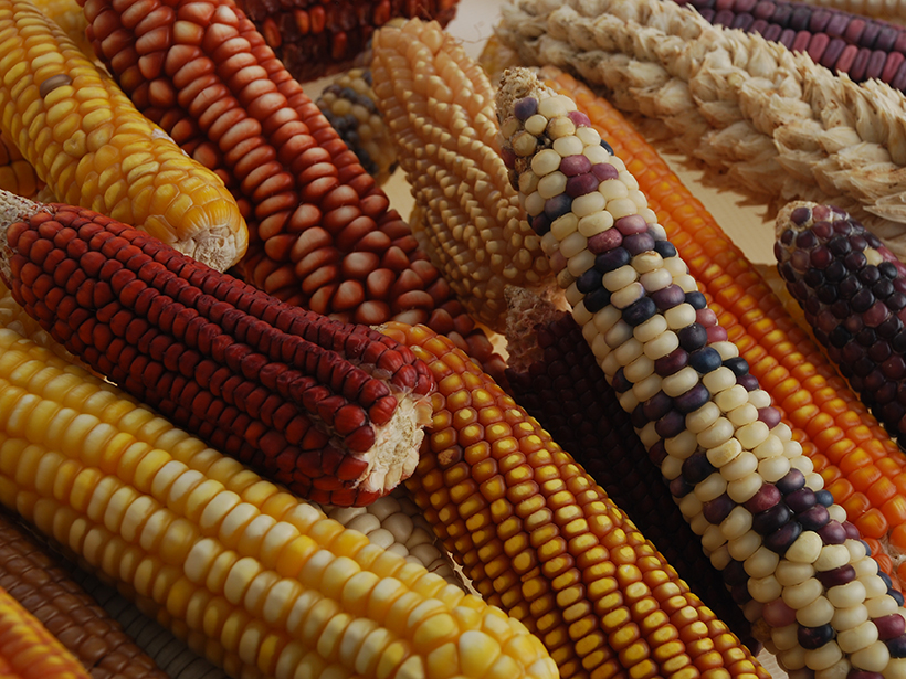 Ears of corn (maize), showing a wide range of colors and shapes that reflect different varieties