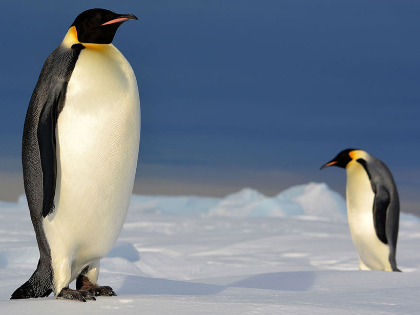 Emperor penguins on the Antarctic ice