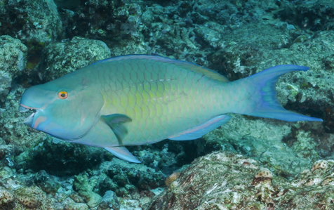 An ember parrotfish (Scarus rubroviolaceus) swims on the Great Barrier Reef.
