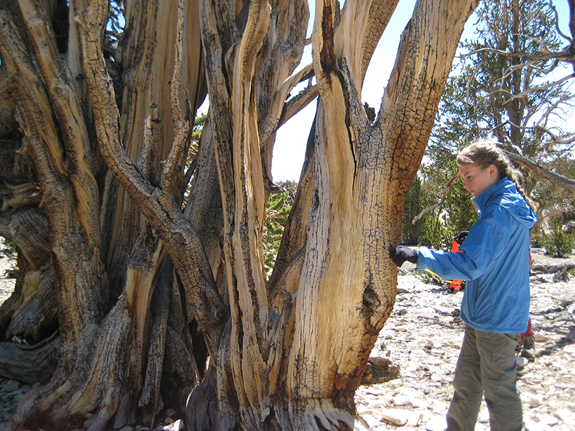 A high school student measures growth in a bristlecone pine in California's White Mountains