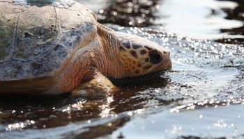A loggerhead sea turtle paddles off Cape Cod after spending six months rehabilitating at the New England Aquarium.