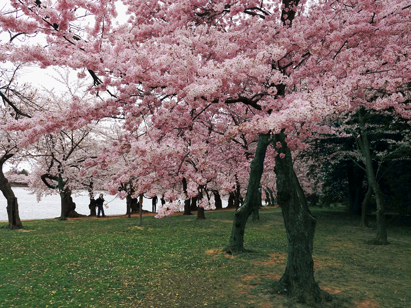 Cherry trees blossom near the Tidal Basin in Washington, D.C.