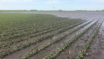 A flooded soybean field in central Iowa in July 2018.