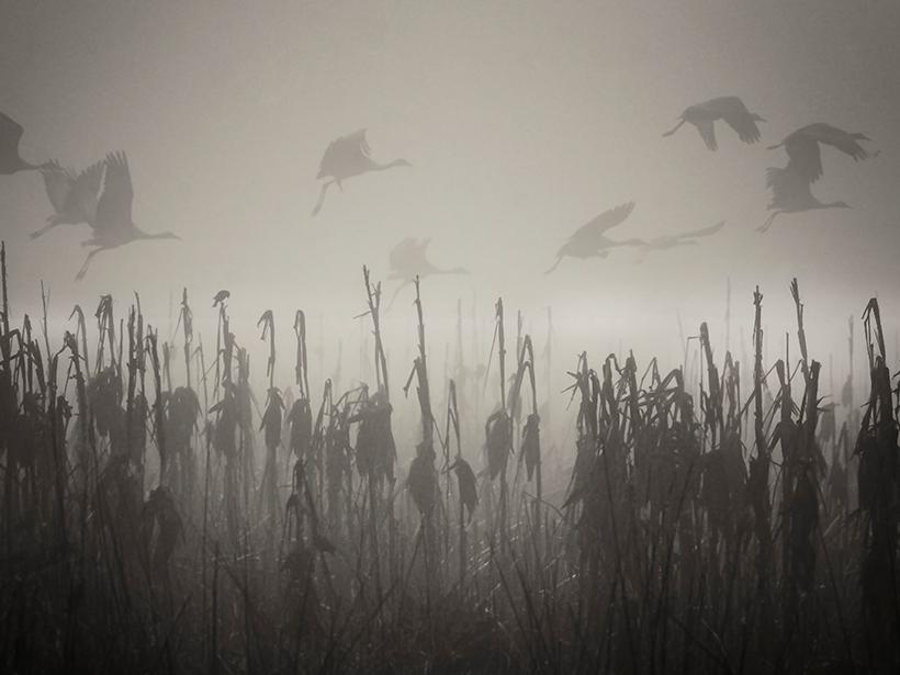 Sandhill cranes fly through the tule fog in the Merced National Wildlife Refuge