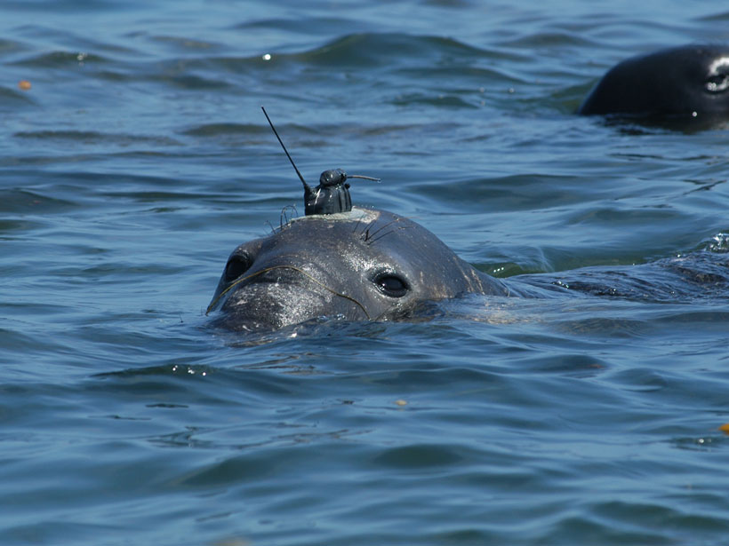 A seal with a radio transmitter on its head surfaces in the ocean