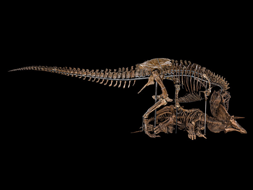 Photo of a fossil display of T. rex chomping down on Triceratops