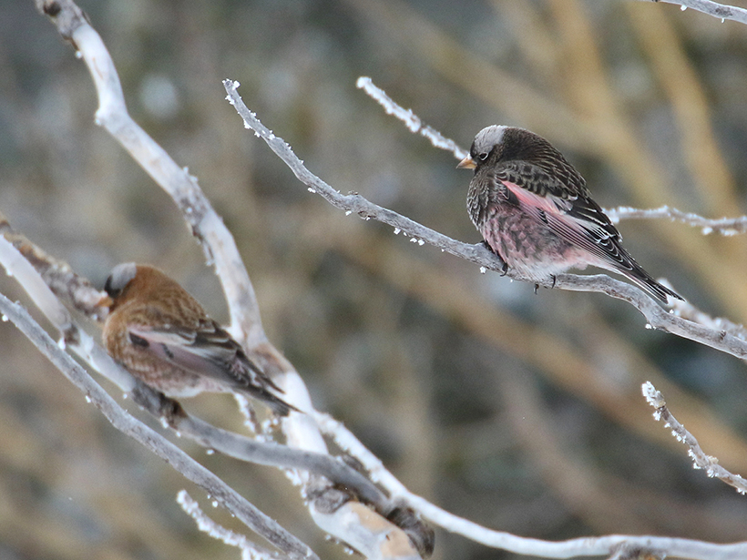 Two black rosy finches rest on icy tree branches.
