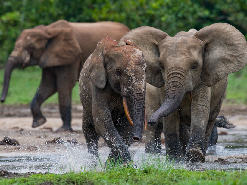 Forest elephants playing in water