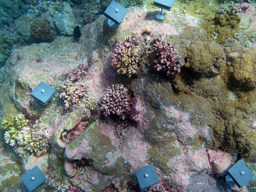 A multicolored coral reef with blue settlement tiles pinned to it