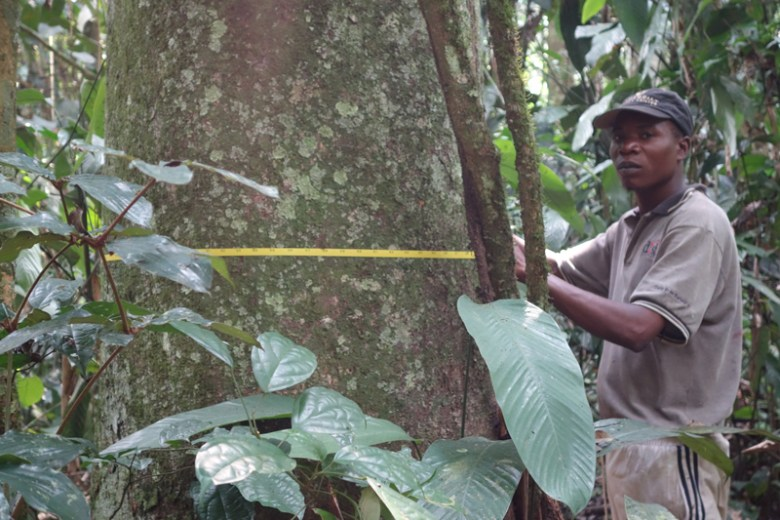 A man uses a tape measure to measure the circumference of a thick tree trunk in the jungle