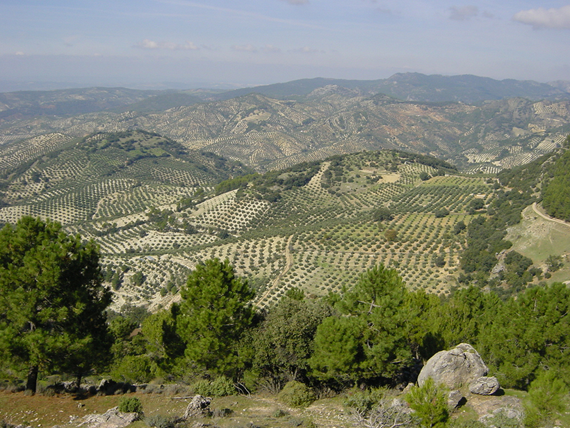 Hillsides covered in neat rows of olive trees
