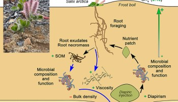 """Diagram of chemical dynamics of soil """"frost boils"""" with an inset of a plant on rocky ground"""