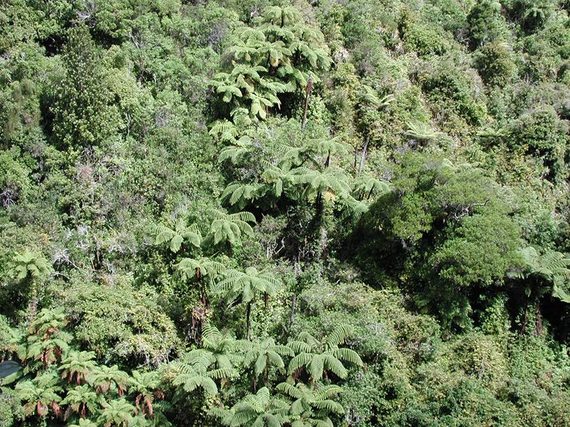 Dazzlingly lush canopy of the Akatarawa Forest, New Zealand