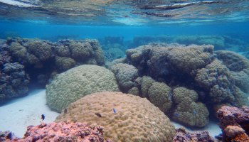 A view of corals just below the ocean surface off American Samoa