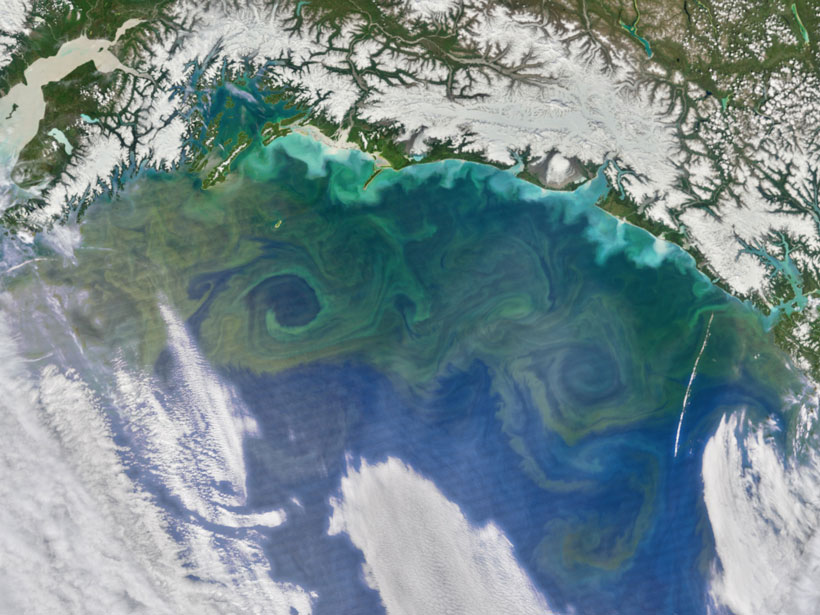 A large swirling plankton bloom is seen in the Gulf of Alaska in this satellite image taken in June 2016