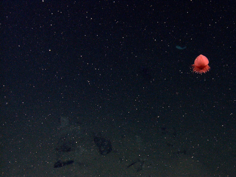 Small red jelly hovers above the deep seafloor