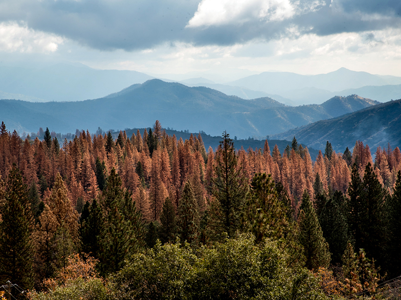 A conifer forest with many dead trees is seen in the foreground, with the Sierra Nevada in the background