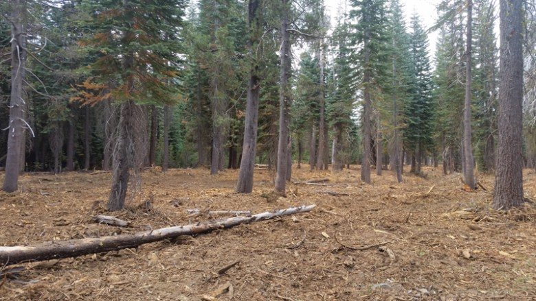 View of a thinned conifer forest in the Sierra Nevada where a lot of trees have been cut down and masticated in place