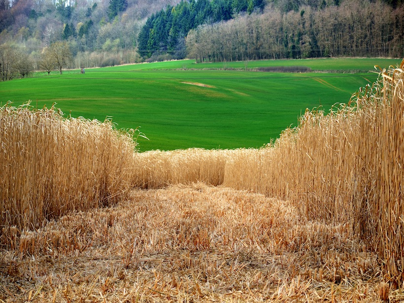 A stretch of Miscanthus grass stands in front of open green space.