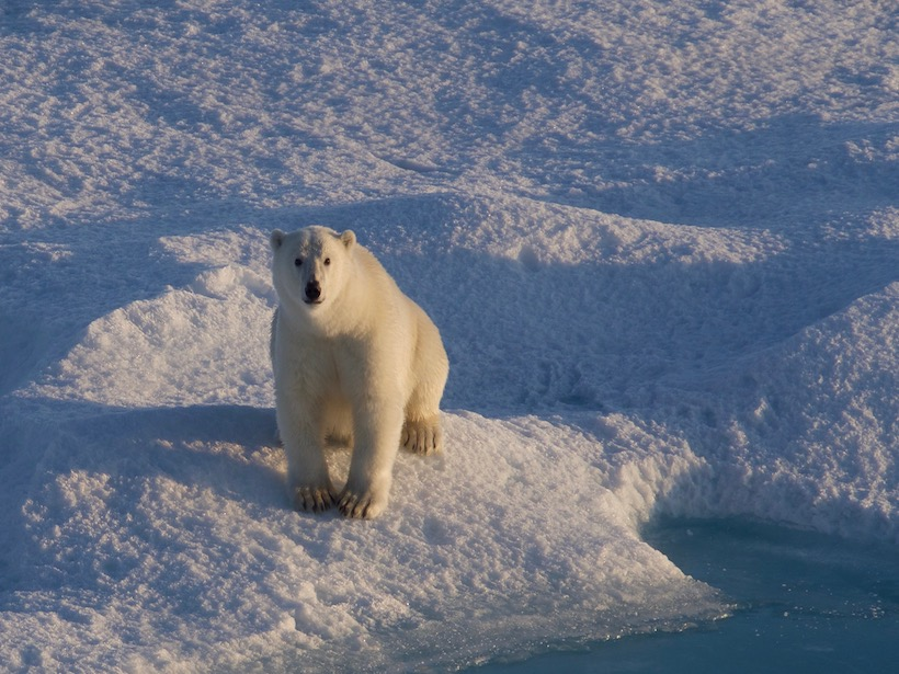 A polar bear sits on its haunches on sea ice in the east Greenland Sea.