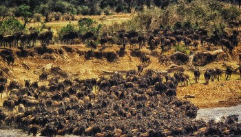 Herd of wildebeests descends from a low cliff into a river.