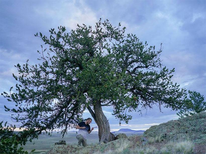Max Torbenson coring a pine tree