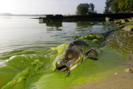 A catfish washed up on the shoreline in the algae-filled waters of Lake Erie in north Toledo, Ohio, in 2017.