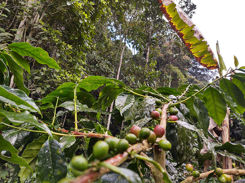 Ripe coffee cherries (red) are ready to harvest in the shade of the forest in Serranía de San Lucas, in northern Colombia