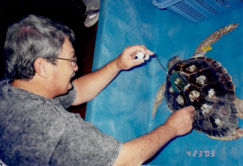 Loggerhead sea turtle being tagged by a scientist