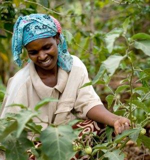 A Ugandan woman tends tomatoes in her garden.